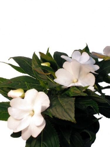 Elegante Pflanzen für Balkon und Garten Edellieschen weiß