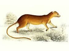 PAINTING ANIMAL POLLARD VAN DAM MALAGASY FOSSA CAT ART PRINT LAH451A