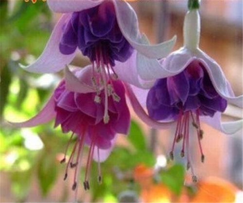 Snow Fuchsia Seeds Fuchsia Purple Lantern Flower Seeds ~10 Seeds~ ✿ FD1516 Hot