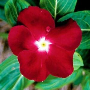 Vinca-Dwarf-Little-Linda-Seeds-Deep-Rose-Flowers-Low-Maintenace-amp-Water