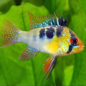 Live tropical aquarium fish for sale mikrogeophagus rams for Aquarium fish for sale online