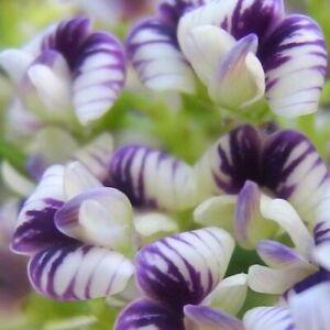 "Amazing ""Ribbon Tree""! - Rare Carmichaelia - Seeds"