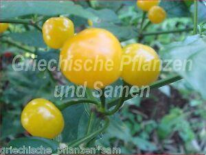 QIUNCHITO-gelber-Kirsch-Chili-ultrascharf-10-frische-Samen-Balkon-Kuebel