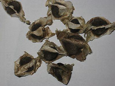 50 Samen Moringa Oleifera PKM1 - Meerrettichbaum - PREMIUM QUALITÄT