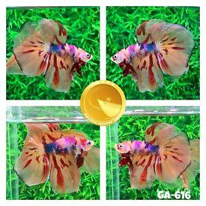(GA-616) Multi-Colored Tiger Halfmoon Nemo Koi Live Male Betta Fish VIP Grade