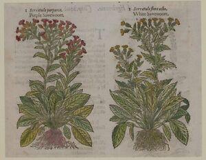 JOHN-GERARD-BOTANICA-MATTHIOLI-1597-SERRATULA-CERRETTA-SAWEWOORT-ERBE