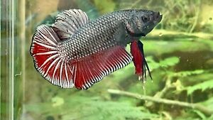 betta fish male Giant Red Copper Size 2""