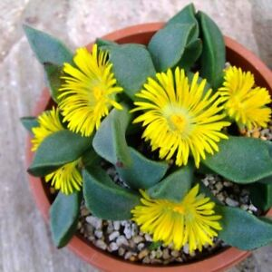 Mimicry-Plant-Split-Rocks-Seed-Succulent-Groundcover-Drought-Tolerant-Yellow-Flr