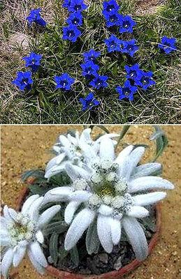 Samen-Sortiment ❅ Blauer Enzian /& Edelweiss ❅ winterharte Gartendekoration ...
