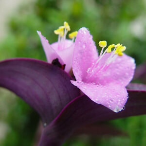 100-stk-Samen-Lila-Riesenbambus-Dendrocalamus-Strictus-Baum-Garten-Deko-He-H7O8