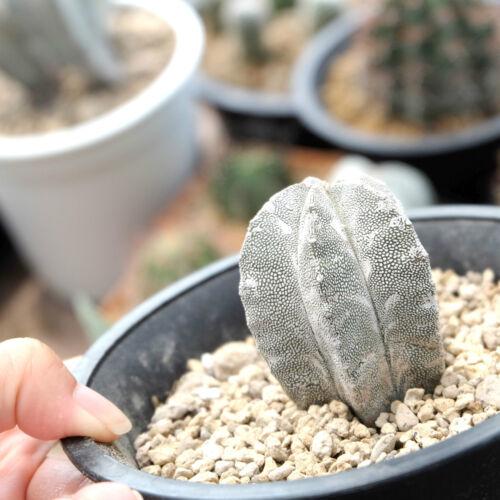 Cactus House,RARE Plant,Unique Pot,Container,Astrophytum Coahuilense,100mm,4inch