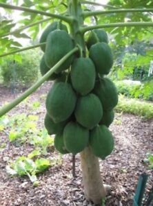 125-PS-Sac-nain-Hovey-Papaye-Graines-Bonsai-Fruits-Bio-graines-tree-seeds-rare