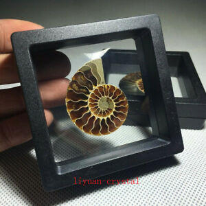 Natural-Ammonite-Fossil-Shell-Conch-Specimen-Crystal-Healing-Display-Box-1pc