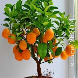 Image Is Loading Fruit Orange Tree Seeds Dwarf Washington Navel Grow