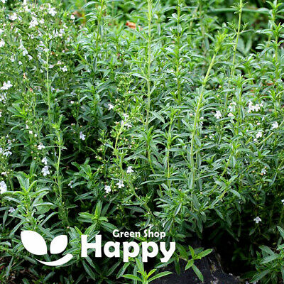 Satureja Hortensis HERB SUMMER SAVORY 2000 SEEDS Herb seeds