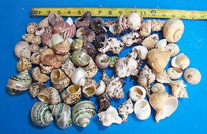 6 Silver mouth TURBO hermit crab shells CRAFTS FISH TANK WEDDING ITEM # 1049-6