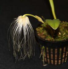 Orchid species Bulbophyllum medusae