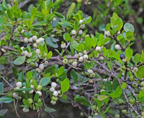 White Indigoberry   Randia aculeata   Organic   10 Seeds Free Shipping