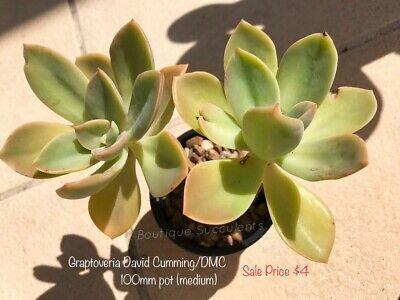 Graptoveria David Cumming Medium Boutique Succulents Ebay