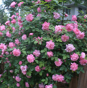Old Blush Pink Climbing rose sport 10 seeds | eBay
