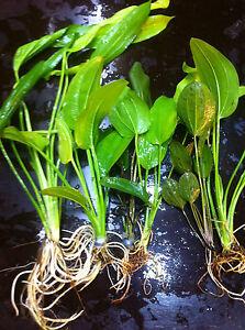 echinodorus-mix-de-25-cm-plante-aquarium-facile