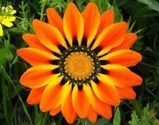 30+ ORANGE PEACOCK GAZANIA FLOWER SEEDS / DROUGHT TOLERANT / RESEEDING ANNUAL