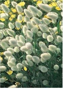 Ornamental-Grass-Bunny-039-s-Tails-Lagurus-Ovatus-500-Seeds-Large-Pack