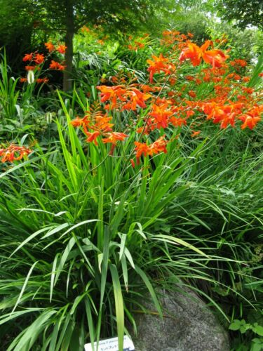 20 x Crocosmia Montbretia Plants organically homegrown Hardy Drought Resistant