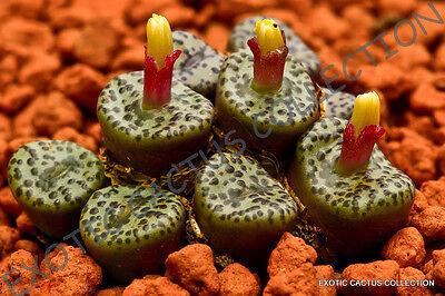 RARE CONOPHYTUM OBCORDELLUM mesemb exotic succulent seed living stones 15 SEEDS