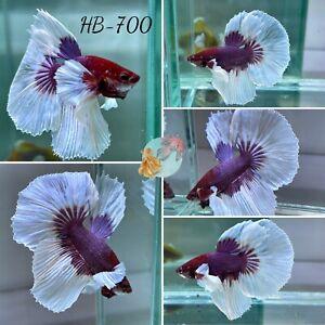 (HB-700) Butterfly Dumbo Lavender Halfmoon-Live Halfmoon Betta Fish High Quality