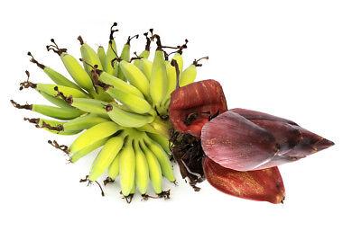 Esotica Giardino Pianta Semi Sementi Exot Yunna-banana Balcone-mostra Il Titolo Originale