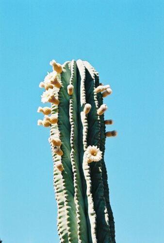 25 Seeds Elephant Cactus Pachycereus pringlei