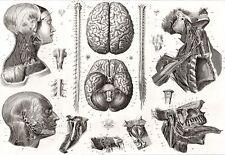 Art Poster Brain and Nerves 1850s Medical Anatomy Print