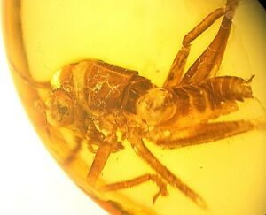 Nice-CRICKET-Griliidae-fossil-insect-inclusion-in-Baltic-amber-stone-c210