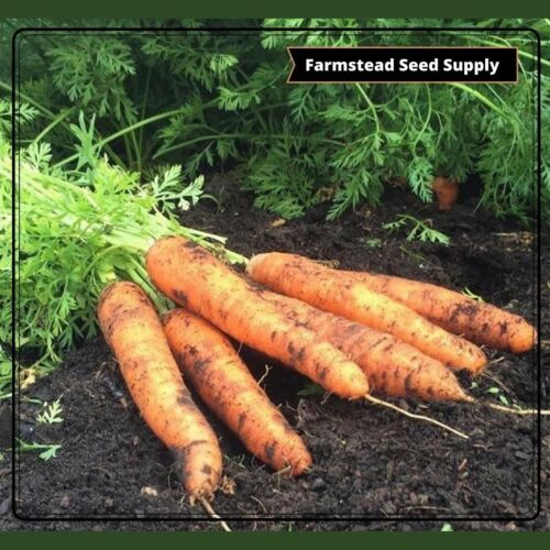 LITTLE FINGER CARROT SEEDSORGANIC • NON-GMO • HEIRLOOM • FREE SHIPPING! Details about  /5600