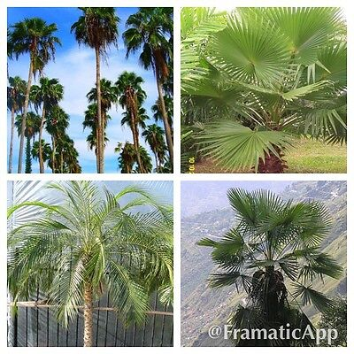 10 Fresh Seeds SABAL PALMETTO Tropical Palm Tree Seeds