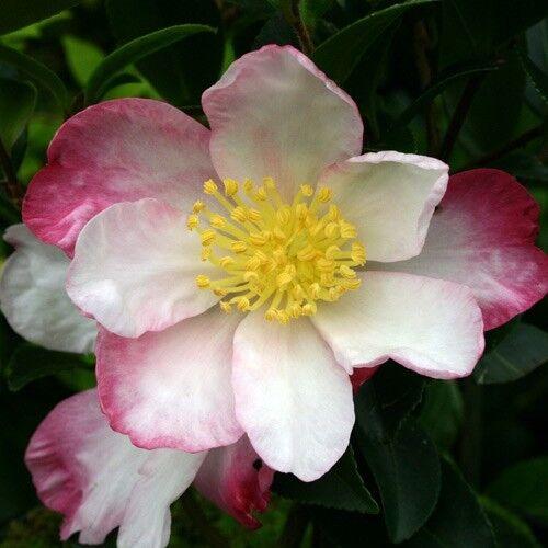 Camellia sasanqua Narumigata in 2L pot winter flowering Camellia