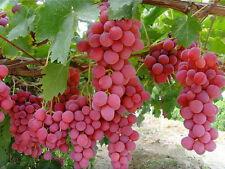 25+ FRESH Red Globe Grape variety seeds