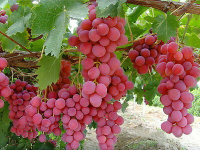 20+ FRESH Red Globe Grape variety seeds