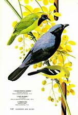 1967-Arthur Singer:Birds- Leafbird/Iora/Fairy Bluebird- Bookplate Vtg Art Print