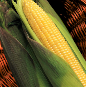 Kandy Korn Yellow Sweet Corn Seeds   SE Hybrid Untreated Non GMO Vegetable 2021