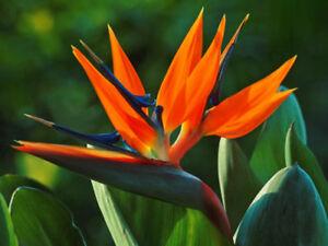 5 graines oiseau de paradis ou strelitzia plante potager semences fleurs ebay. Black Bedroom Furniture Sets. Home Design Ideas