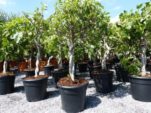 winterhart Obstbaum Feigenbaum !! Feige hell UND dunkel !! Ficus Carica