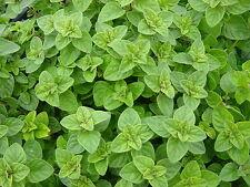 Oregano Seeds, Greek, Heirloom Herb, Bulk Seeds, Most Flavorful & Aromatic 500ct