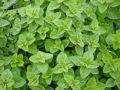 1//4 oz Celery Seeds Utah Tall Heirloom Non-GMO Bulk Celery Seeds 25,000ct