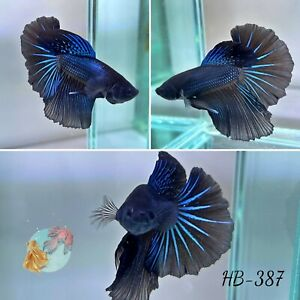 (HB-387) Supper Black Blue Star Halfmoon-Live Halfmoon Betta Fish High Quality