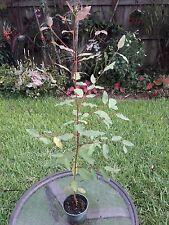 "Eucalyptus deglupta Rainbow Eucalyptus Mindano Gum Tree grown in 4"" pot 26"" Tall"
