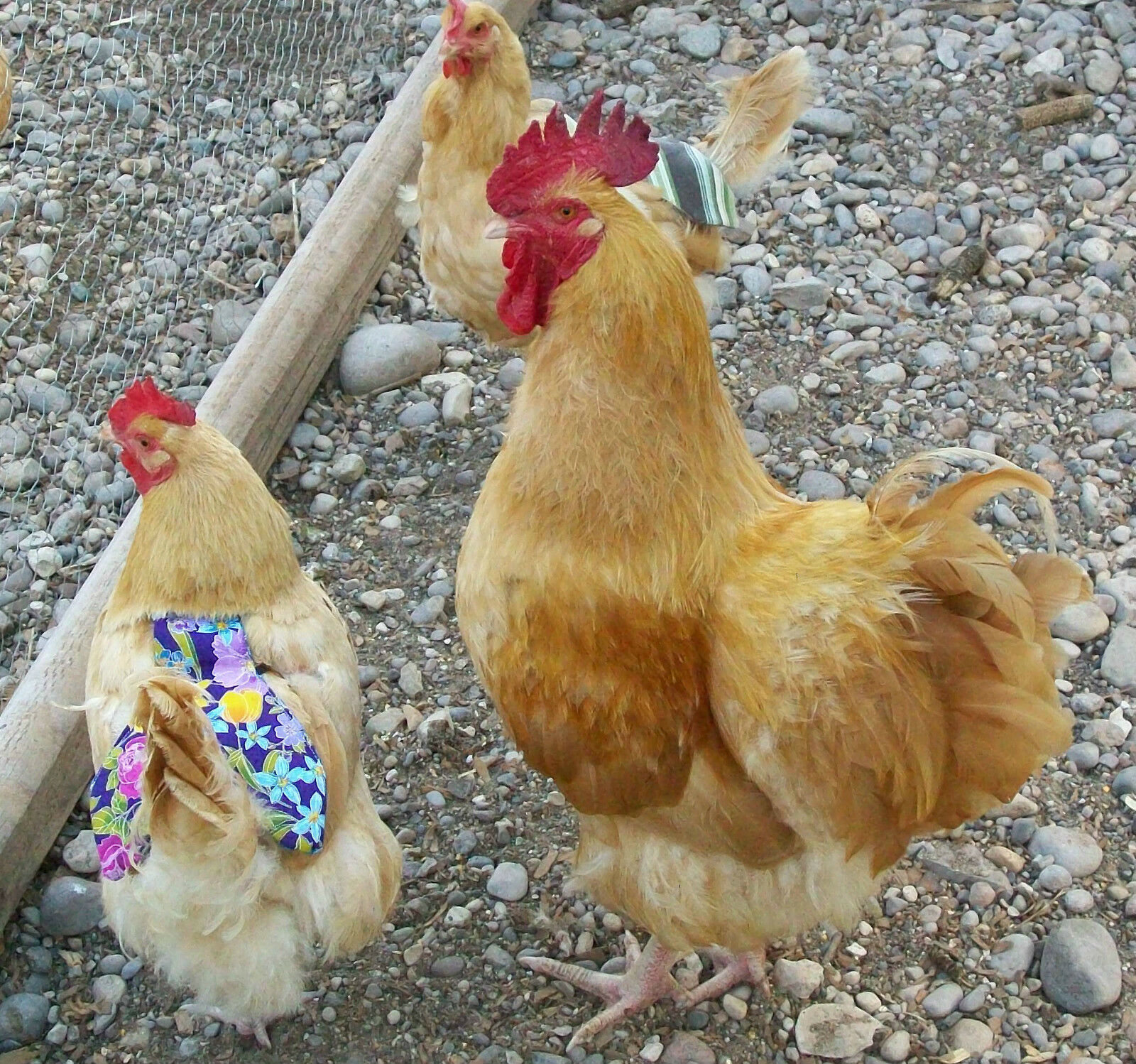 2 DELUXE W TAIL CHICKEN SADDLE APRON HEN FEATHER Bantam Silkie HATCHING EGGS