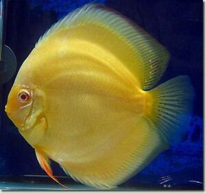 10 golden yellow discus fish peaceful freshwater fish ebay for Peaceful freshwater fish