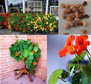 10x grande capucine graines comestible plante grimpante plant jardin fleur 153 ebay. Black Bedroom Furniture Sets. Home Design Ideas
